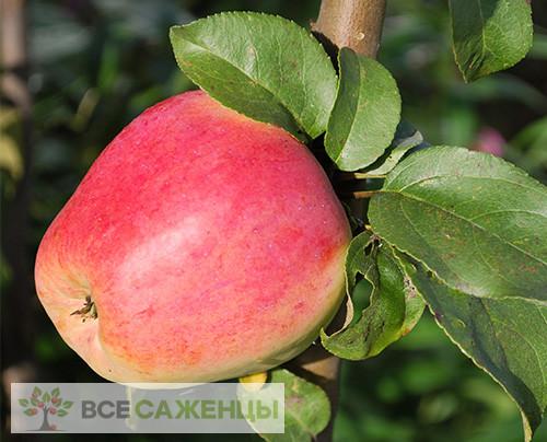 Купить Яблоня Кандиль орловский