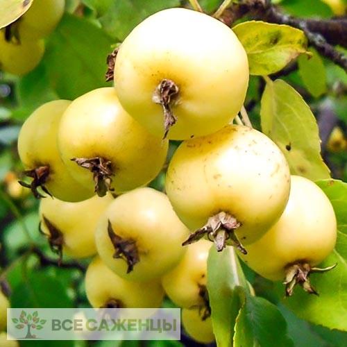 Купить Яблоня Китайка золотая