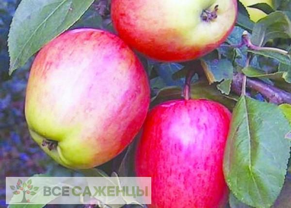 Яблоня колоновидная Аркадик
