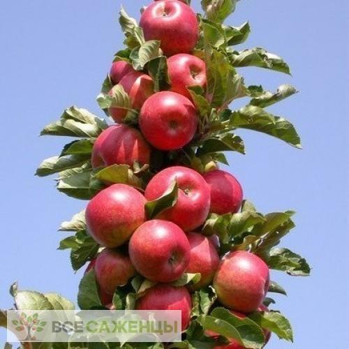 Купить Яблоня колоновидная Джин