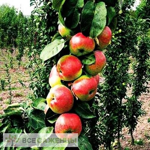 Купить Яблоня колоновидная Элита