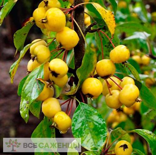Купить Яблоня колоновидная Китайка жёлтая