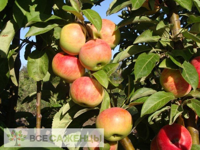 Купить Яблоня колоновидная Луч