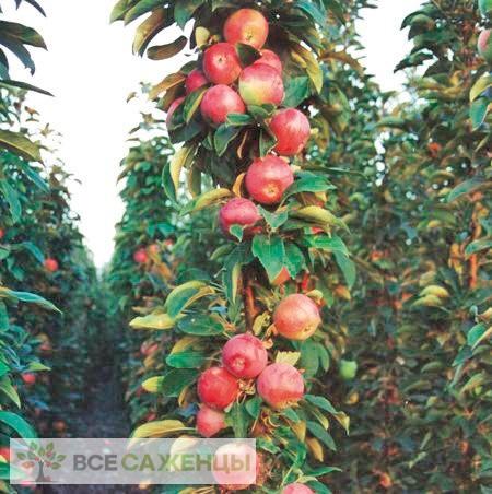 Яблоня колоновидная Луч