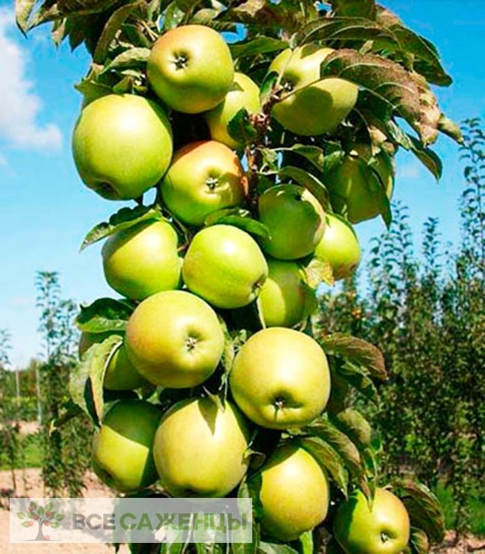 Купить Яблоня колоновидная Малюха
