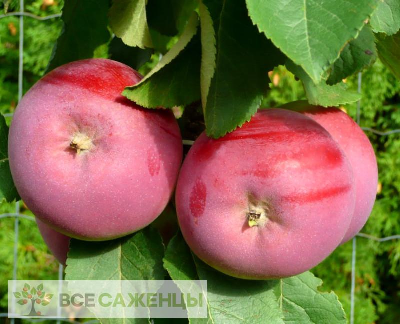 Купить Яблоня колоновидная СОЛО