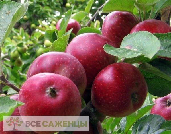 Фото Яблоня Коваленковское (Красное сладкое)