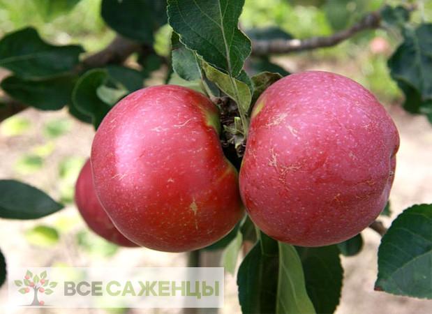 Купить Яблоня Лобо