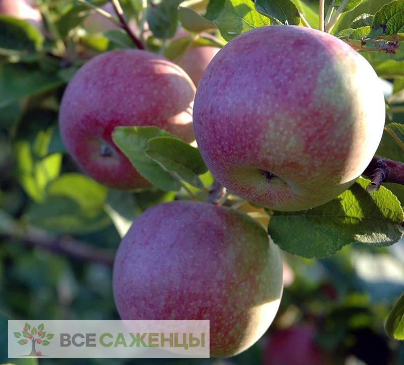 Фото Яблоня Макинтош (Мекинтош)