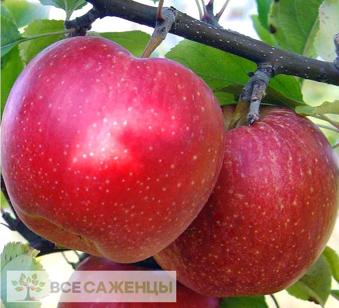 Купить Яблоня Малиновый Делишес