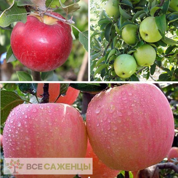 Фото Яблоня многосортовая (трехсортовая) Карамельная-Семеренко-Розовый налив