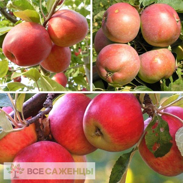 Купить Яблоня многосортовая (трехсортовая) Пепин шафранный-Белорусское Сладкое-Конфетное