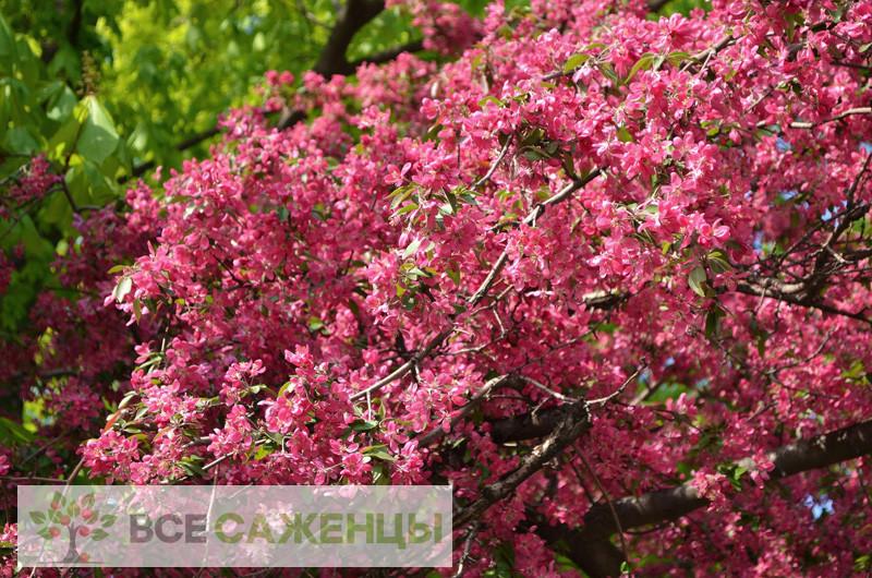 Фото саженцев Яблоня Недзвецкого