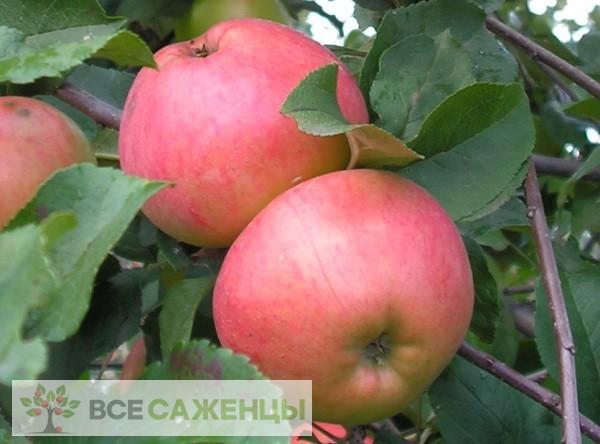 Купить Яблоня Осенняя радость
