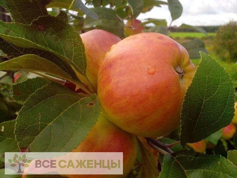 Яблоня Победа (Черненко)
