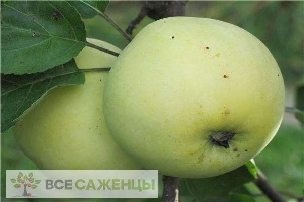 Фото Яблоня Россиянка
