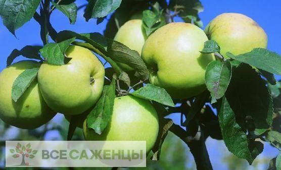 Яблоня Россиянка
