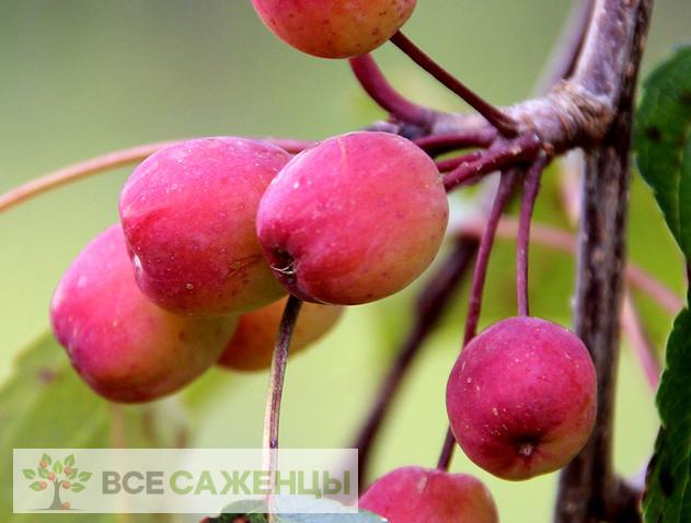 Купить в питомнике Яблоня Рудольф (Malus Rudolph)