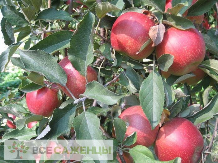 Фото Яблоня Веньяминовское (Веньяминовская)