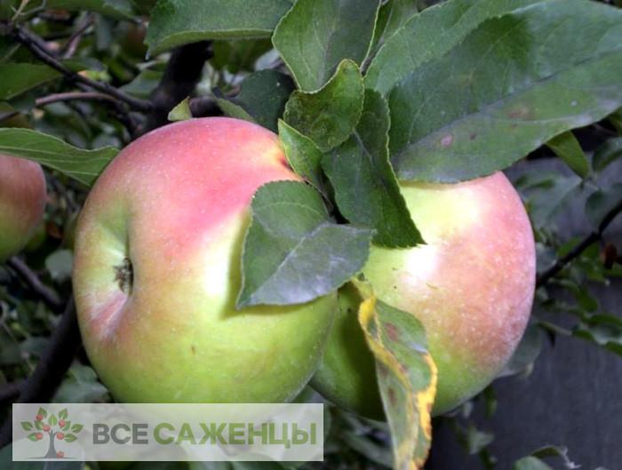 Фото Яблоня Вербное (Вербная)