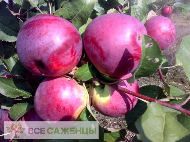 Купить Яблоня Вишневое (Вишневая)