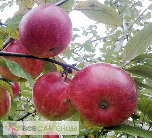 Яблоня Юный натуралист (Юннат)