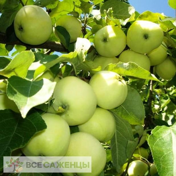 Купить Яблоня Белый налив