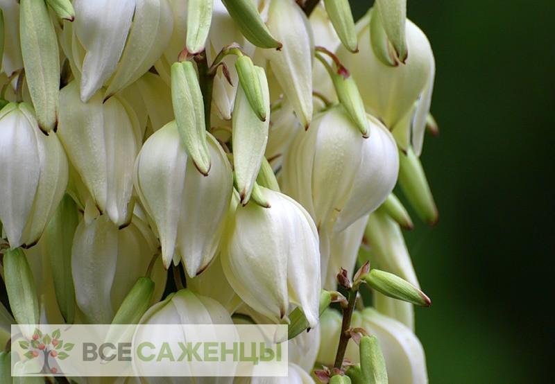 Фото саженцев Юкка Нитчатая (Yucca Filamentosa)