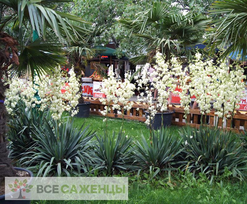 Купить в питомнике Юкка Нитчатая (Yucca Filamentosa)
