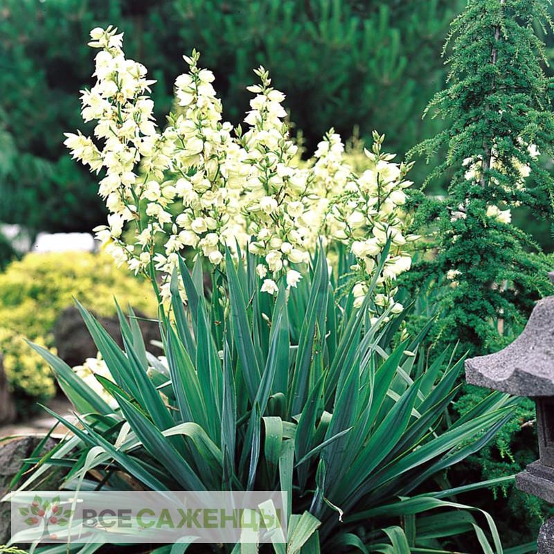 Фото Юкка Нитчатая (Yucca Filamentosa)
