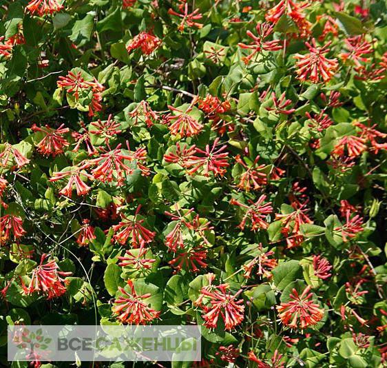 Жимолость Брауна Фуксиойдес (Lonicera brownii Fuchsioides)