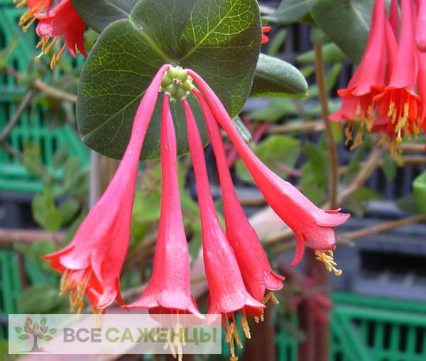 Фото Жимолость Брауна Фуксиойдес (Lonicera brownii Fuchsioides)