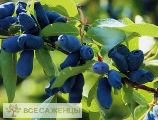 Фото Жимолость Длинноплодная
