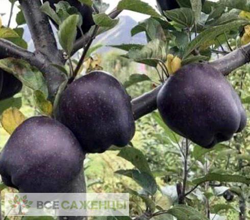 Яблоня Черный бриллиант (алмаз)