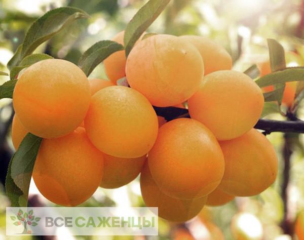 Купить Алыча Подарок Санкт-Петербургу