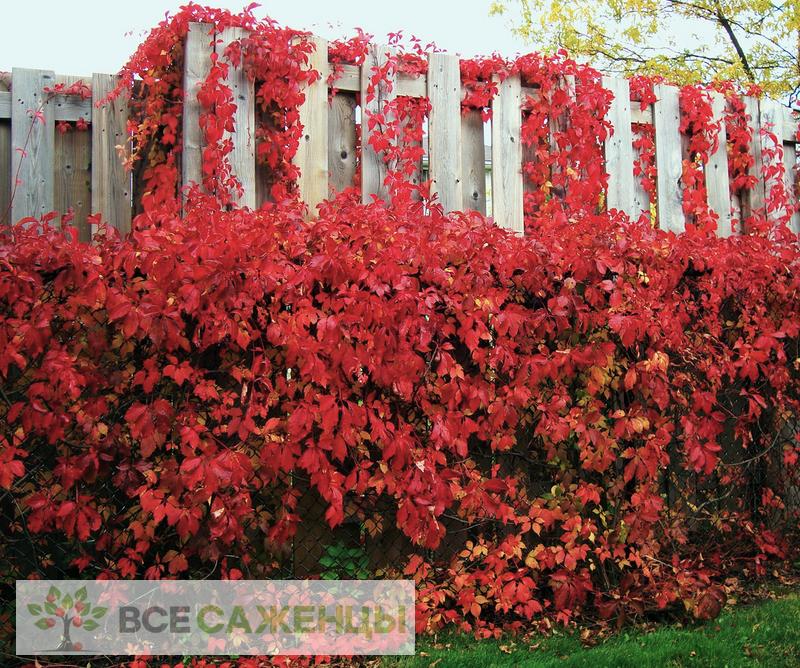 Фото Девичий виноград Красная стена (Troki)