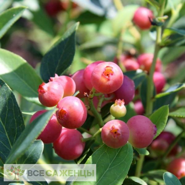 Фото Голубика Пинк Блюберри розовая (Pink Blueberry) высокорослая
