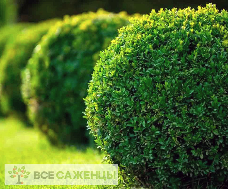 Фото саженцев Самшит вечнозеленый