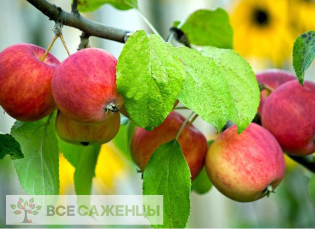 Купить Яблоня Алтайское бархатное