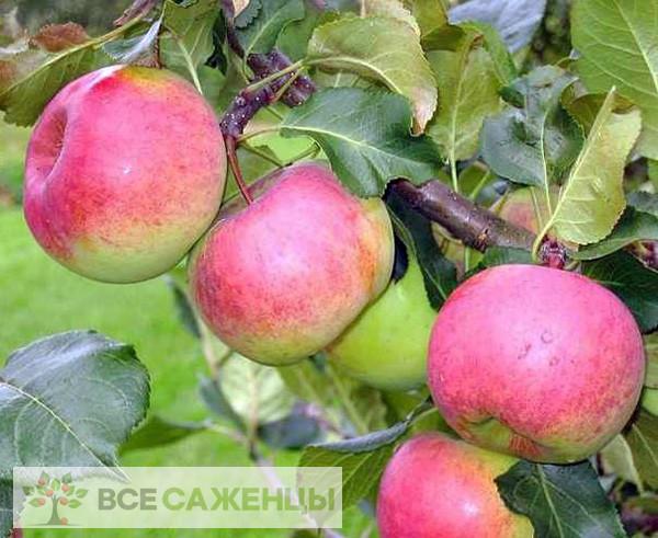 Яблоня Ауксис