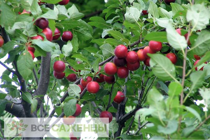 Сливово вишневый гибрид Бета