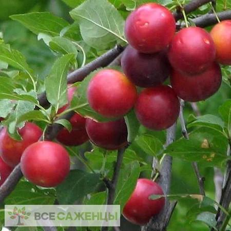 Купить Сливово вишневый гибрид Бета