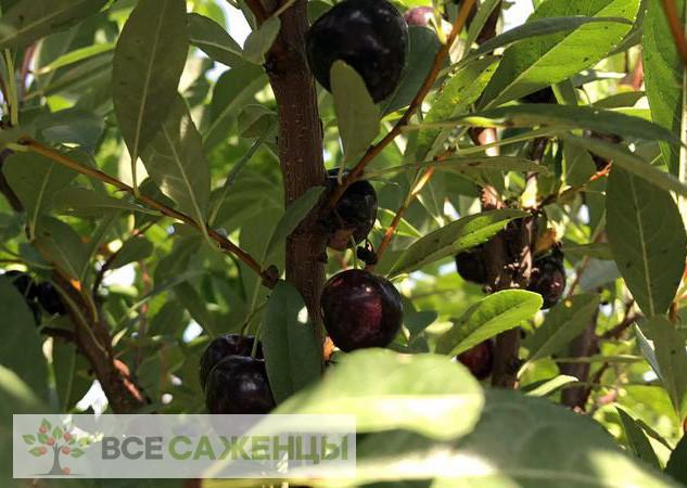 Сливово вишневый гибрид Омская ночка