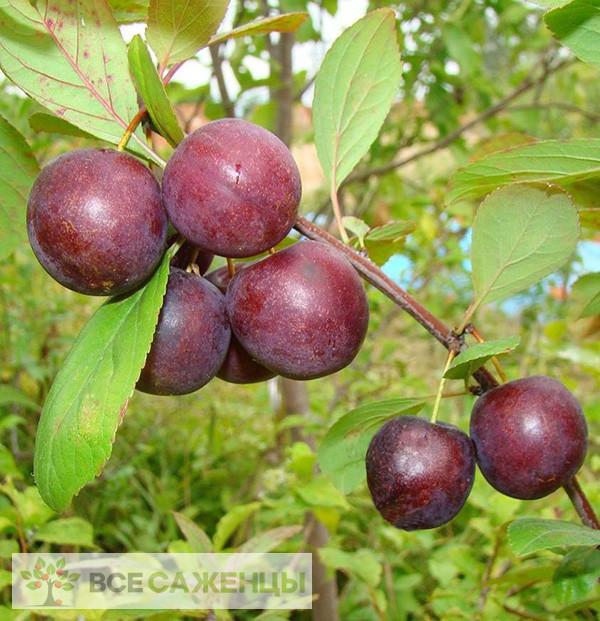 Купить Сливово вишневый гибрид Опата