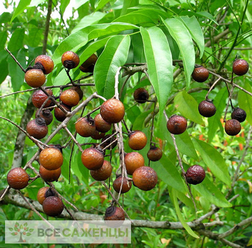 Мыльное дерево (Сапиндус)
