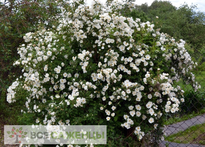 Шиповник Альба (Rosa rugosa Alba)