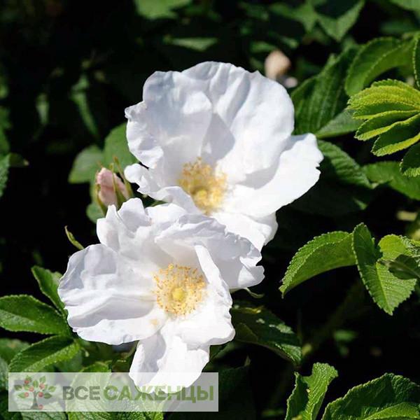 Фото саженцев Шиповник Альба (Rosa rugosa Alba)