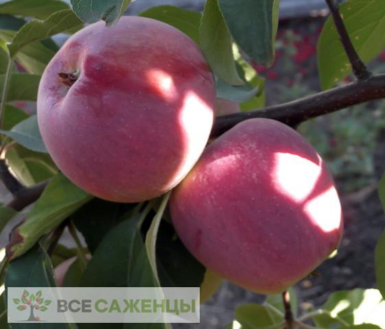 Купить Яблоня Память Ульянищева