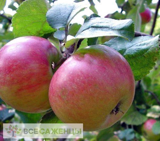 Купить Яблоня Приземленное (карликовая)