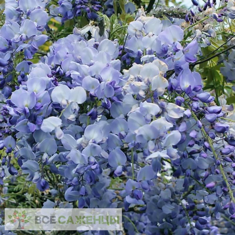 Глициния обильноцветущая Блю Дрим (Blue Dream)